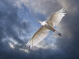 Egret Flying Beneath Dark Clouds Reproduction photographique par Diane Miller