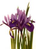 Spring Flowers: Iris Fotografie-Druck von Abdul Kadir Audah