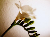 White Freesia Photographic Print by Abdul Kadir Audah