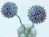 Still Life Photograph, Two Globe Thistles (Echinops Ritro), Shot with Shallow Dof Photographic Print by Abdul Kadir Audah