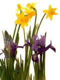 Abdul Kadir Audah - Spring Flowers: Daffodils, Iris and Muscari - Fotografik Baskı