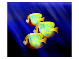 Angelfish Underwater Giclee Print by Rich LaPenna