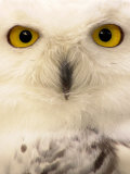 Close-Up of a Snowy Owl Fotoprint van Abdul Kadir Audah