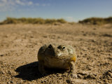 African Bullfrog, Rana Catesbeiana Photographic Print by Beverly Joubert