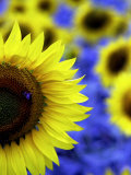 Sunflower Closeup Photographic Print by Abdul Kadir Audah