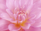 Still Life Photograph, Close-Up of Pink Dahlia Photographic Print by Abdul Kadir Audah