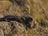 Scrub Hare, Lying Low But Alert, in Grasses Photographic Print by Beverly Joubert