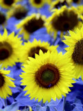Sunflowers Closeup Photographic Print by Abdul Kadir Audah