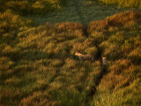 Aerial View of Lionesses in Tall Grasses Photographic Print by Beverly Joubert