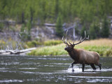 Bull Elk Wades Through the Madison River in Yellowstone Photographic Print by Drew Rush