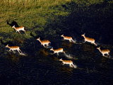 Herd of Antelope Running Through Water and onto Land Photographic Print by Beverly Joubert