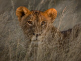 African Lion Cub in Tall Grasses at Twilight Photographic Print by Beverly Joubert