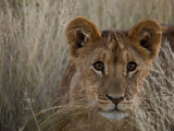 Close-up African Lion Cub in Tall Grass Photographic Print by Beverly Joubert