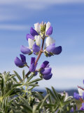 Lupine Flower Photographic Print by Diane Miller