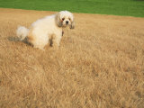 Poodle Urinating on Dead Grass Photographic Print by Steve Cicero