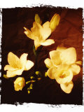 Three Freesia Photographic Print by Abdul Kadir Audah