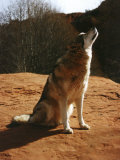 Gray Wolf Howling, Sedona, Arizona, USA Photographic Print by Margaret L. Jackson