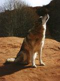 Gray Wolf Howling, Sedona, Arizona, USA Photographic Print by Margaret L. Jackson