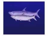 Two Tarpon Cruise the Ocean Giclee Print by Rich LaPenna