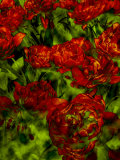 A Bed of Red Curly Tulips, Keukenhof, Holland Photographic Print by Abdul Kadir Audah