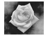 Gray Rose on Gray Background Giclee Print by Rich LaPenna