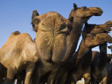Curious Camel Photographic Print by Randy Olson