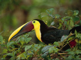 Chestnut-Mandibled Toucan, Ramphastos Swainsonii, in Leafy Tree Photographic Print by Roy Toft