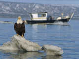 American Bald Eagle, Haliaeetus Leucocephalus, on Snowbank with Boat Photographic Print by Roy Toft