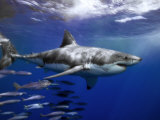 Mauricio Handler - Great White Shark Swims in Clear Water Off Guadalupe Island Fotografická reprodukce