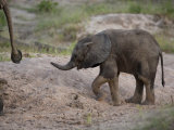 Juvenile African Elephant Walking Close Behind its Parent Photographic Print by Roy Toft