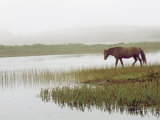 Wild Horse Approaches the Water on Sable Island Photographic Print by  xPacifica