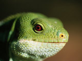 Fijian Banded Iguana at the Houston Zoo Photographic Print by Joel Sartore