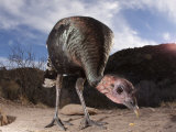 Close-up View of a Wild Turkey, Meleagris Gallopavo Photographic Print by Roy Toft