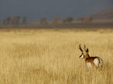 Pronghorn Buck in Fall, Grand Teton National Park, Wyoming Photographic Print by Drew Rush