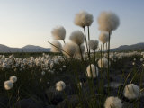 Cotton Grass Along Tundra Lake, Alaska Photographic Print by Michael S. Quinton