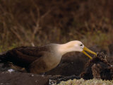 Waved Albatross, Phoebastria Irrorata, with it's Chick Photographic Print by Mattias Klum