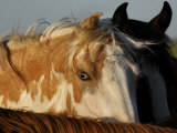 Wild Mustang with a Blue Eye at a Wild Horse Conservation Center Photographic Print by Melissa Farlow
