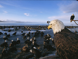American Bald Eagles, Haliaeetus Leucocephalus, on Beach Photographic Print by Roy Toft