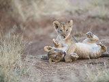 Two Male Lion Cubs Wrestle on the Trail in Samburu, Kenya, East Africa Fotografie-Druck von Mark Ross