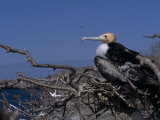 Juvenile Great Frigatebird, Fregata Minor, Perched in a Tree Snag Photographic Print by Mattias Klum