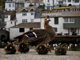 Mother Duck and Ducklings Walk Together in an Old Fishing Village Photographic Print by Jim Richardson