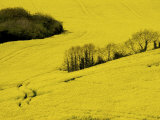 Yellow Rape Crop Growing in a Field Photographic Print by Jim Richardson