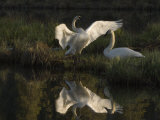 Trumpeter Swan (Cygnus Buccinator), Alaska Photographic Print by Michael S. Quinton
