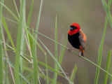 Southern Red Bishop Bird, Euplectes Orix, in Bright Breeding Plumage Photographic Print by Roy Toft