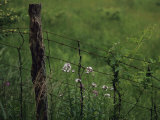 Wildflowers and Vines Growing in an Old Fence Topped with Barbed Wire Photographic Print by Raymond Gehman