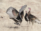 Small Group of Wild Turkeys, Meleagris Gallopavo Photographic Print by Roy Toft