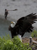 American Bald Eagle Protecting its Nest from a Black Oystercatcher Photographic Print by Roy Toft