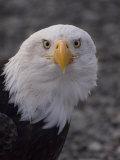 Adult Bald Eagle (Haliaeetus Leucocephalus), Alaska Photographic Print by Michael S. Quinton