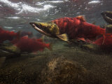 Spawning Salmon Dominate Traffic in the Ozernaya River Photographic Print by Randy Olson
