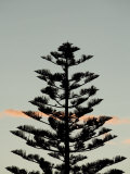 Silhouette of Norfolk Pine Tree at Sunset Photographic Print by Dawn Kish